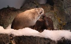 An otter at Aquarium of the Bay in San Francisco, Calif., lays on new snow placed in their exhibit today on Wednesday, December Photo: Liz Hafalia, The Chronicle Snow Place, Monterey Bay Aquarium, Brown Bear, Ferret, Otters, Exhibit, Mammals, Wednesday, Pup