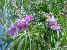 Desert Willow Tree. Glendale Xeriscape Garden, Glendale, AZ