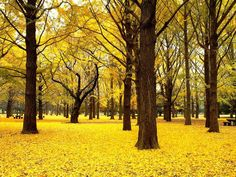 japan's forest of gold