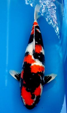 Tancho showa black koi with red and white markings for All black koi