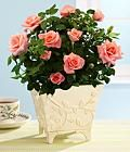 Caring and Pruning of Indoor Minature Potted Roses