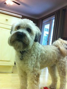 Murphy the Wheaton Terrier #SCWT #Wheaton