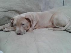 2 / 27     Petango.com – Meet LUCIAN, a 3 months 20 days Terrier, Pit Bull / Mix available for adoption in EVANSVILLE, IN Contact Information Address  P.O. Box 4436, EVANSVILLE, IN, 47724  Phone  (812) 604-0088  Website  http://www.acaevansville.com  Email  anotherchanceforanimals@gmail. com