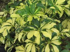 arboricola plant | Schefflera arboricola 'Trinette'