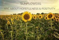 Sunflowers are about hopefulness and positivity. Sunflowers are about hopefulness and positivity. Sunflower Room, Sunflower Quotes, Sunflower Pictures, Sunflower Garden, Sunflowers And Daisies, Wild Flowers, Sun Flowers, Succulents Diy, Planting Succulents