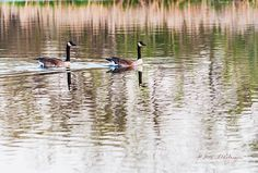 Just one of the many pairs of Canada Geese taking a swim. It amazes me how easy these animals can move thru the water. They look like a very regal pair!