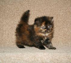 tortoiseshell persian kittens - Google Search #PersianCat