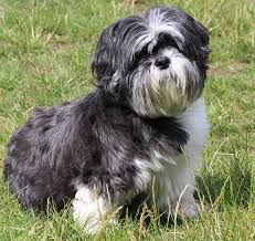 The complete guide to the very best food for Shih Tzu dogs. Discover the best dog food for Shih Tzu puppies, adults, and senior dogs. Shih Tzus, Shih Tzu Hund, Shih Tzu Puppy, Shitzu Puppies, Cute Puppies, Cute Dogs, Best Dog Food, Best Dogs, Lion Dog