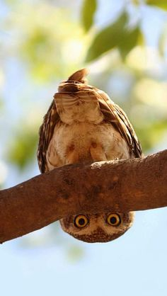 Owl Looks From Under Tree Branch