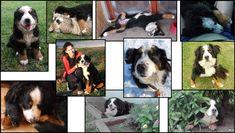 Szága Dogs, Animals, Animales, Animaux, Pet Dogs, Doggies, Animal, Animais