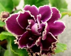 African Violet * LE-Chato Brion