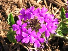 Growing The Home Garden: Gardening in the Home Landscape: What's Not to Like About 'Homestead Purple' Verbena?