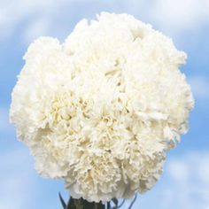 Near me local fresh cut flowers delivered to For Weddings, Birthdays, Wholesale and Bulk. Carnation Bouquet, White Carnation, Carnations, Flowers Uk, Fresh Flowers, Fall Flowers, Beautiful Flowers, Wholesale Roses, Mothers Day Flowers
