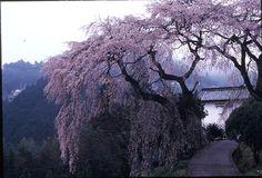 sakura haibara
