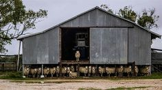 A southern Queensland wool shed, the perfect home
