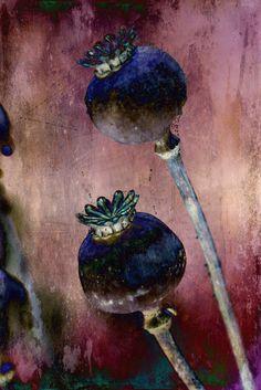 Poppy-seedheads