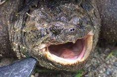 カミツキガメ - Google 検索