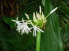 The spider lily, also known as the crinum lily, is a member of the Amaryllidaceae family and bares a strong resemblance to the daffodil flower. Description from thefemalecelebrity.com. I searched for this on bing.com/images