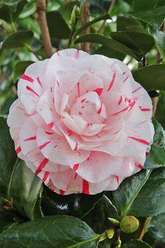 Camellia Japonica 'Lavinia Maggi' AKA 'Contessa Lavinia Maggi' (Italy, 1858)
