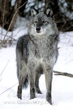Wolfs- I had a Shepherd part wolf and it was the most gentle and loving dog ever.  It kept my outside cats warm during the winter by letting them cuddle with him.  I never had or ever  will have a dog as great as him.