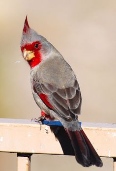 Pyrrhuloxiap bird ~ Looks like a Cardinal, but the colors are different!