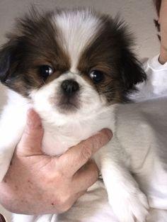 Litter of 4 Japanese Chin puppies for sale in SALEM, OR. ADN-58571 on PuppyFinder.com Gender: Female. Age: 9 Weeks Old