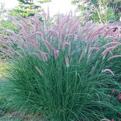 Rose Fountain Grass.  Perrenial and likes full sun to partial shade.