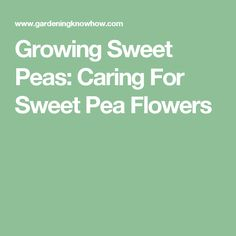 Growing Sweet Peas: Caring For Sweet Pea Flowers