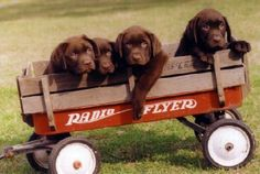 A bunch of Rileys! Chocolate Lab Puppies, Chocolate Labs, I Love Dogs, Puppy Love, Labrador Breeders, Cute Puppies, Dogs And Puppies, Warm Fuzzies, Dog Life