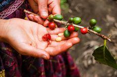 Edle Kaffeebohnen aus klimatisch reizvollen Anbaugebieten und besonderen Anbauprojekten, eine hohe Röstqualität und soziale Nachhaltigkeit zeichnen die Kaffees aus der Delme-Kaffeemanufaktur aus.