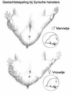 Het geslacht bepalen van een hamster