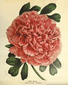Pink peonie art antique flower art print by VictorianWallArt