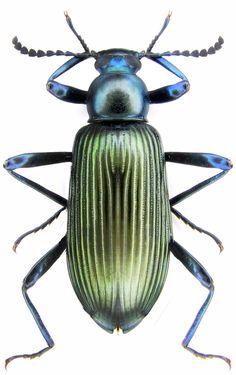 Tenebrionidae sp.