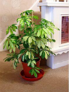 schefflera actinophylla umbrella tree 10seed localharvest indoor plants pinterest umbrella tree and plants