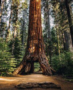 The Pioneer Cabin Tree © Lance Gerber