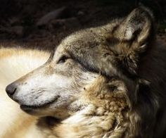 Female wolf, Sioux, from the ZooAmerica pack in Hershey, PA. Feel free to use as a reference or as stock for photo-manipulations. Gray Wolf, Grey, Photo Manipulation, Husky, Stock Photos, Dogs, Animals, Image, Ash