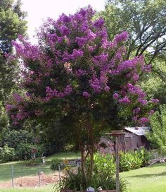 100 Pcs - Dormant Bare Root of Purple Crepe Myrtle, Lagerstroemia Indica Lagerstroemia, Flower Seed Gifts, Crepe Myrtle, Tree Seeds, Flowering Shrubs, Trees To Plant, Flower Seeds, Flowering Trees, Myrtle Tree