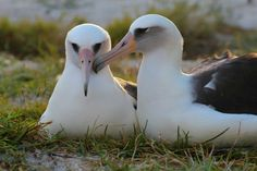 Whishdom & Akeakamai https://medium.com/usfws/wisdom-the-laysan-albatross-and-worlds-oldest-known-breeding-bird-hatched-another-chick-c70574144142#.gph7o3qn9