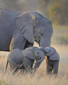 (41) Twitter #wildlife #photography #elephants