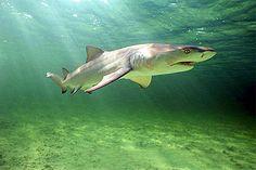 Lemon Shark | Lemon shark ( Negaprion brevirostris ) #sharks #beast #sealife