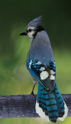 Eastern Bluejay  (VA & CO)