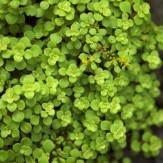 Sedum 'Ogon'- great light green colour. Looking everywhere for this - cannot find!