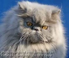 CatzR4me Persian, Himalayan & Exotic