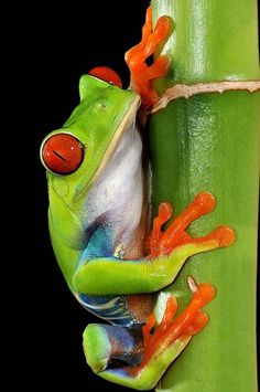 Red-eyed tree frog (Agalychnis callidryas). Native to neotropical rainforests in Central America. photo: Paul Bratescu.