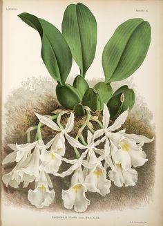 Jean Jules Linden Lindenia. Iconographie des Orchidées , 1885-1906; Trichopilia Suavis Lindl. Var. Alba,  Image number:SIL7-289-02