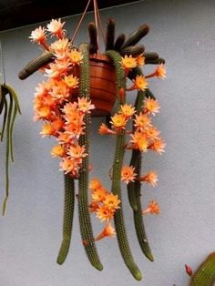 Blooming Cactus #cactusgarden