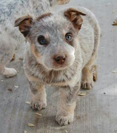 Probably the cutest puppy I've ever seen bluuue eyed