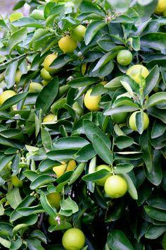 https://www.plantsandtreesonline.co.uk/product/trees/fruit-trees/citrus-lime-lime-trees-limetta-2/