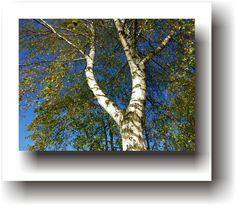 POVEȘTI DE VACANȚĂ – Legenda mesteacănului Spirituality, Painting, Plant, Painting Art, Spiritual, Paintings, Painted Canvas, Drawings