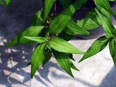 How to plant Laksa Leaves, aka Daun kesum (Malay), Vietnamese mint, rau ram (Vietnamese), pak pai (Thai)  Scientific name: Polygonum minus